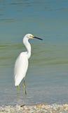 Czapli Egret w wodzie Fotografia Stock
