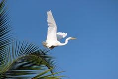 Czapli latanie Fotografia Stock