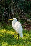 Czapli lub wielki egret ptak obrazy royalty free
