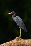 Czapli obsiadanie na gałąź Małego błękita czapla, Egretta caerulea w waqter, eaqrly ranek z, słońce, zmrok - błękitny morze, Rio  Fotografia Stock