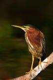 Czapli obsiadanie na gałąź z rzeką Popierająca Zielona czapla, Butorides virescens w naturze, Czapla w ciemnym zwrotniku dla Obrazy Royalty Free