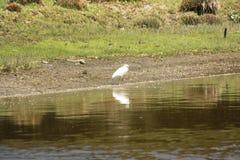Czapli połów w jeziorze Fotografia Stock