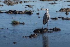 Czapli polowanie w lagunie Dorosłego popielaty czapli ardea cinerea na polowaniu w naturalnym parku Albufera, Walencja, Hiszpania zdjęcia stock