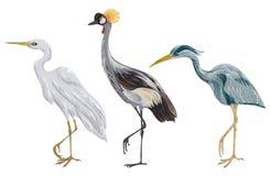 Czapli ptaki ustawiający Bagno fauny Odosobneni elementy royalty ilustracja