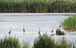 Czapli ptaki w chanel, Lithuania fotografia stock