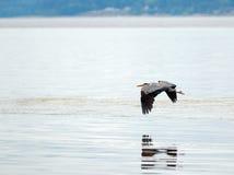 Czaplia latająca depresja nad pływowym nawadnia przy Joemma plażą na Kluczowym półwysepie Puget Sound blisko Tacoma Waszyngton Obrazy Stock