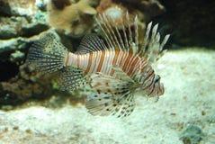 czarci firefish Obraz Stock