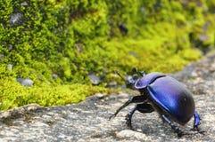 Czarna ściga kraść przez miotła lasu mech Obraz Royalty Free