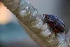 Czarna ściga na gałąź drzewo insekt rozkaz odróżniał forewings typowo modyfikującymi w ciężkie skrzydłowe skrzynki zdjęcia royalty free