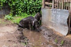 czarna świnio Zdjęcie Stock