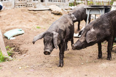 czarna świnio Zdjęcia Stock