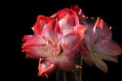 czarna amarillis izolacji Fotografia Royalty Free