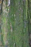 Czarna barkentyna zakrywająca z mech fałszywa akacja zdjęcie stock