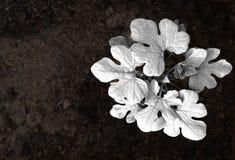 Czarna & Biała arbuz roślina Zdjęcia Stock