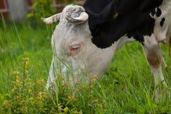 Czarna bia?a krowa na ulicie je zielonej trawy Czarna bia?a krowa w naturze obrazy royalty free