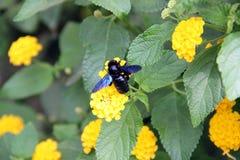 Czarna bimble pszczoła obrazy stock