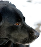 czarna Border Collie labradora mieszanka Zdjęcia Royalty Free