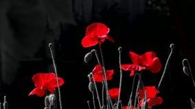czarna czerwony Kontrastujący, czerwony kolor na czarnym tle Czerwony maczek w blasku księżyca Nocy strzelanina kolory zbiory wideo