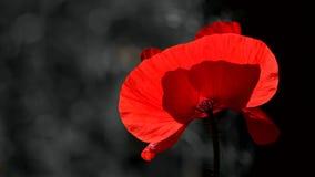 czarna czerwony Kontrastujący, czerwony kolor na czarnym tle Czerwony maczek w blasku księżyca Nocy strzelanina kolory zdjęcie wideo