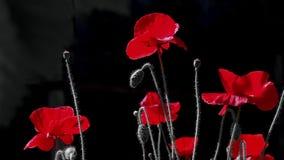 czarna czerwony Kontrastujący, czerwony kolor na czarnym tle Czerwony maczek w blasku księżyca Nocy strzelanina kolory zbiory