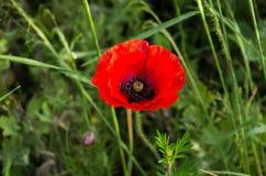 czarna czerwony Czerwony kwiat z czerni centrum Fotografia Royalty Free