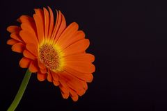 czarna daisy Zdjęcia Royalty Free