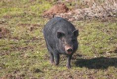 Czarna domowa świnia Zdjęcie Stock