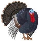 Czarna duża Indycza ptasia samiec Turcja dla dziękczynienia Zdjęcia Royalty Free