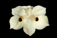 czarna dwa tygodnie lily Obrazy Stock