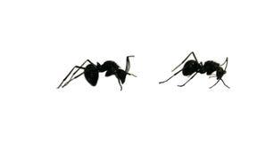 czarna dwie mrówki obrazy stock