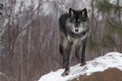 Czarna faza Popielatego wilka Canis lupus łapa Naprzód Na skale zdjęcie royalty free