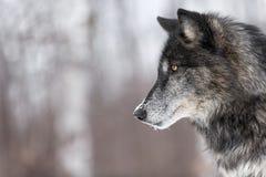 Czarna faza Popielatego wilka Canis lupus profilu kopii przestrzeń Fotografia Stock