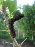 Czarna gąsienica z białymi punktami fotografia stock