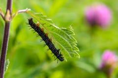 Czarna gąsienica aglais io Fotografia Stock