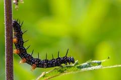 Czarna gąsienica aglais io Zdjęcia Stock
