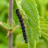 Czarna gąsienica aglais io Obrazy Stock