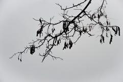 Czarna gałąź biała akacja Fotografia Royalty Free