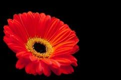 czarna gerbera tła czerwone Fotografia Stock
