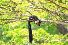 Czarna gigantyczna wiewiórka Fotografia Stock