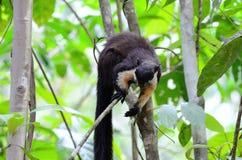 Czarna Gigantyczna wiewiórka (Ratufa bicolor) Fotografia Stock