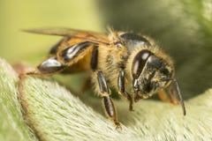 Czarna i żółta pszczoła na zielonym liściu Obrazy Royalty Free