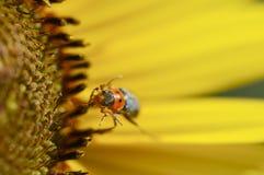 Czarna i czerwona ściga na żółtym kwiacie Zdjęcie Royalty Free