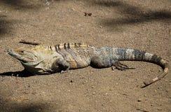 Czarna iguana Zdjęcie Stock