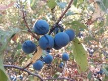 Czarna jagoda, czarne jagody odosobnione, świeży, krzak, tło, biel karmowy, dojrzały, błękitny, grono, owoc soczysta, makro-, jag fotografia stock