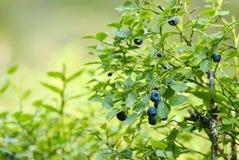 czarna jagoda krzak Obraz Stock