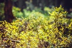 Czarna jagoda krzaki Zdjęcie Stock