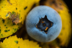 Czarna jagoda na liściach Obraz Royalty Free