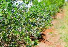 Czarna jagoda rząd na gospodarstwie rolnym obrazy royalty free