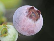 Czarna jagoda w naturze Zdjęcie Royalty Free