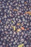 Czarna jagoda w Sweden Zdjęcie Royalty Free